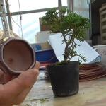 真柏を小さい鉢に剪定した分根を切って植えてもらった