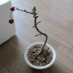 サンザシミニ盆栽の植え替え