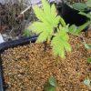 小葉の名月カエデの挿し木