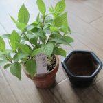 紫式部のミニ盆栽「購入後の植え替え」