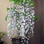 藤の盆栽 植え替え・剪定の仕方