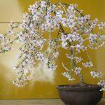 しだれ桜の盆栽