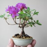 ミヤマキリシマのミニ盆栽