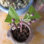 紫式部の挿し木した物をミニ盆栽に