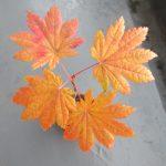 小葉の名月カエデの秋の紅葉