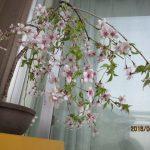 しだれ富士桜は開花当初は白色で段々ピンク色になる