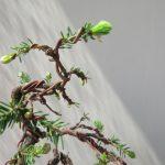 蝦夷松(えぞ松)の芽摘み