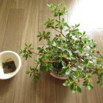 ミヤマキリシマの植え替えと剪定と挿し木