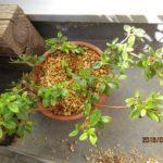 ミヤマキリシマの挿し木は風対策もし発根もした模様