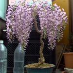 藤の花が見ごろの季節 藤の盆栽