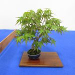 札幌草樹会が展示会を開く!春のミニ盆栽と山野草展