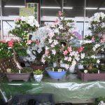 札幌盆栽会がジョイフルエーケーで盆栽即売会を開く